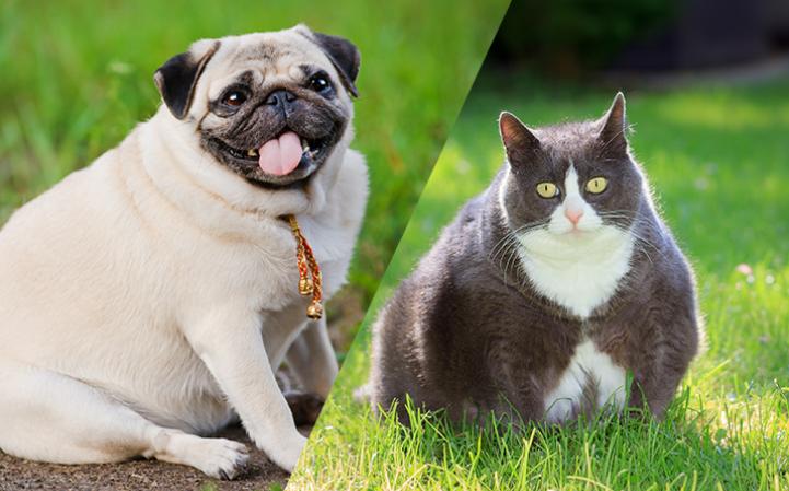 Sobrepeso em cães e gatos: quando começar uma dieta.